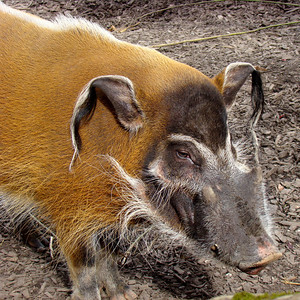RED RIVER HOG - CENTRAL AFRICA