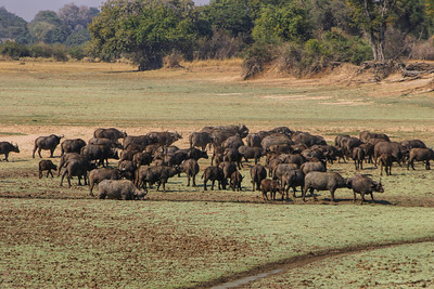 CAPE BUFFALO - ZAMBIA
