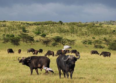 CAPE BUFFALOS - MASAI MARA, KENYA