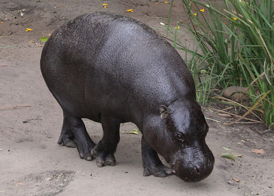 PYGMY HIPPO - WEST AFRICA