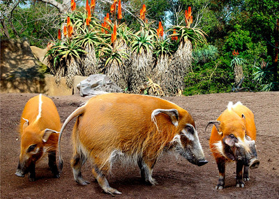 RED RIVER HOGS - CENTRAL AFRICA