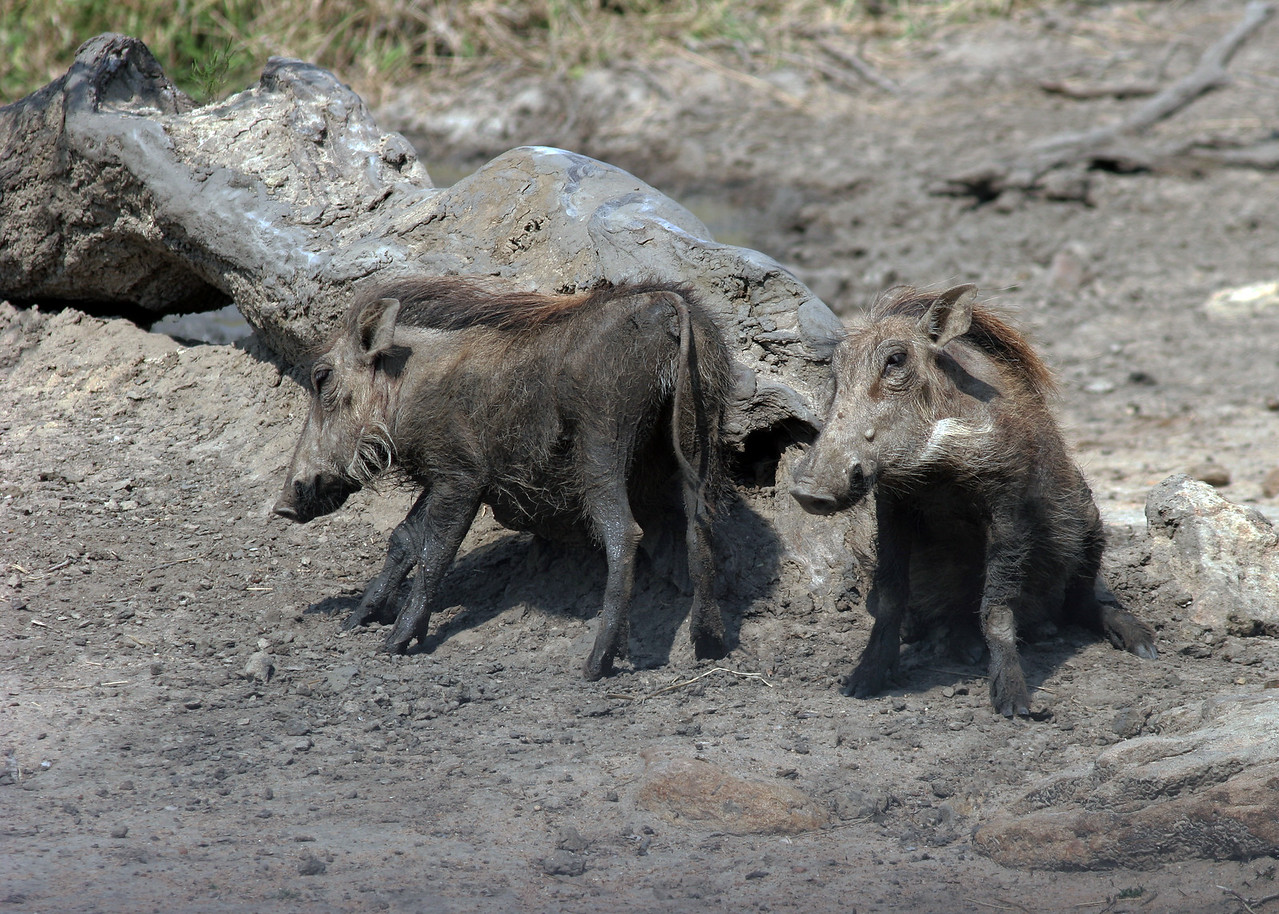 WARTHOGS - SOUTH AFRICA