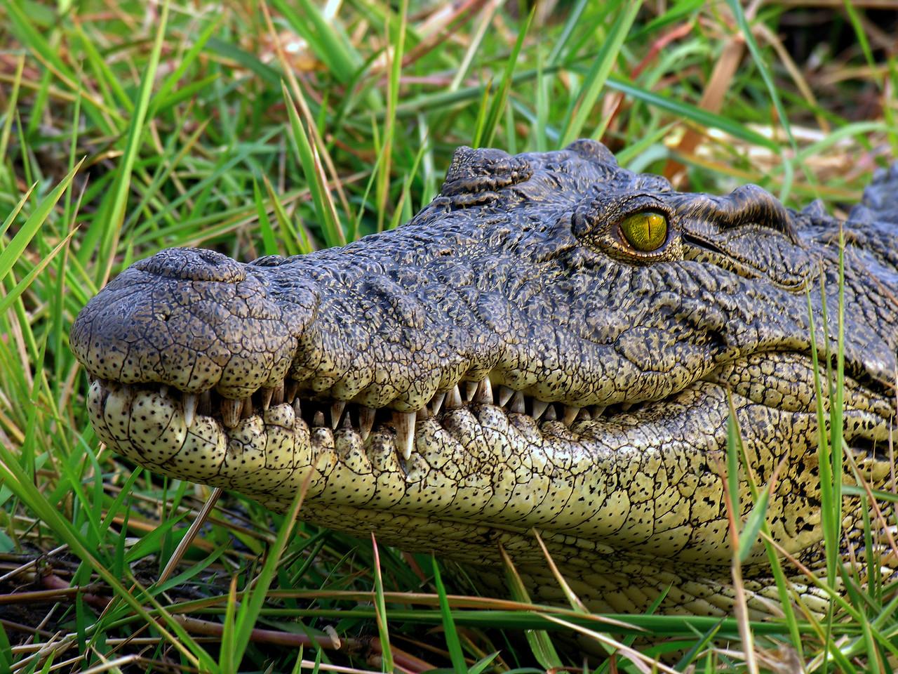 CROCODILE - BOTSWANA