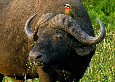CAPE BUFFALO - SOUTH AFRICA