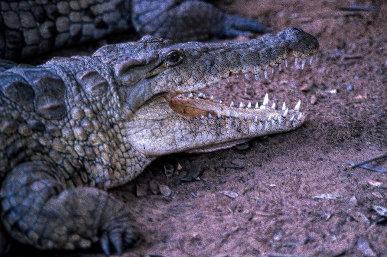 NILE CROCODILE - SAMBURU, KENYA