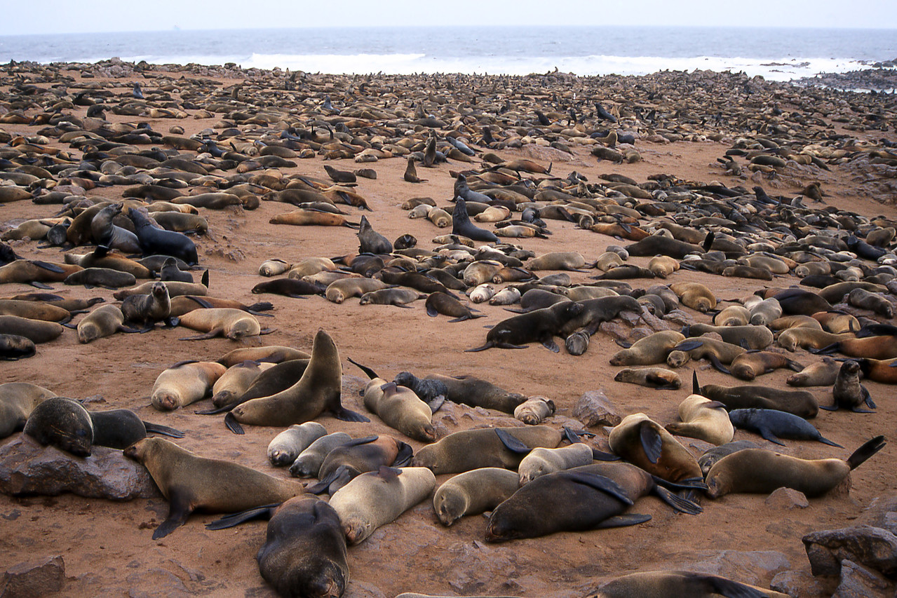 CAPE FUR SEALS - CAPE CROSS, NAMIBIA