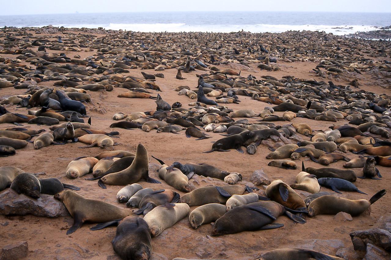 CAPE FUR SEALS - CAPE CROSS, NAMIBIA