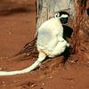 VERREAUX SIFAKA - MADAGASCAR