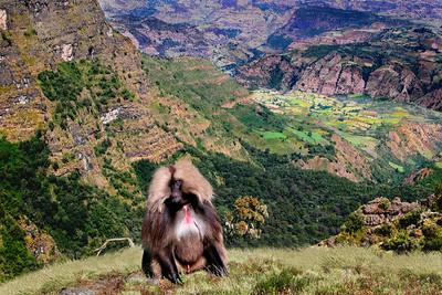 GEALDA BABOON - ETHIOPIA