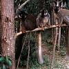 BROWN LEMURS - MADAGASCAR