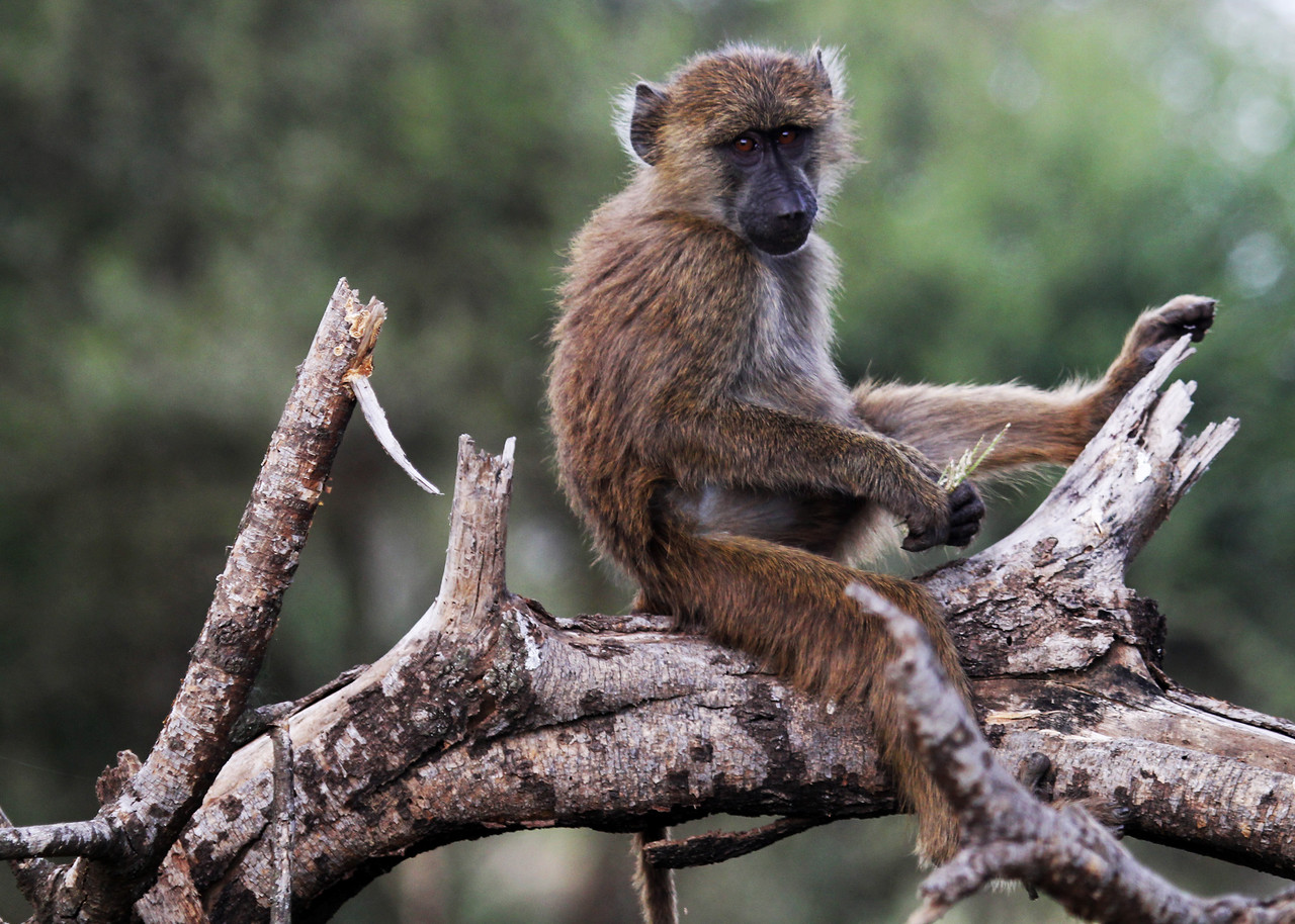 CHACMA BABOON - SOUTH AFRICA