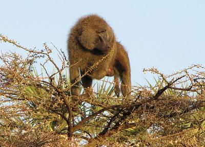 OLIVE BABOON - KENYA