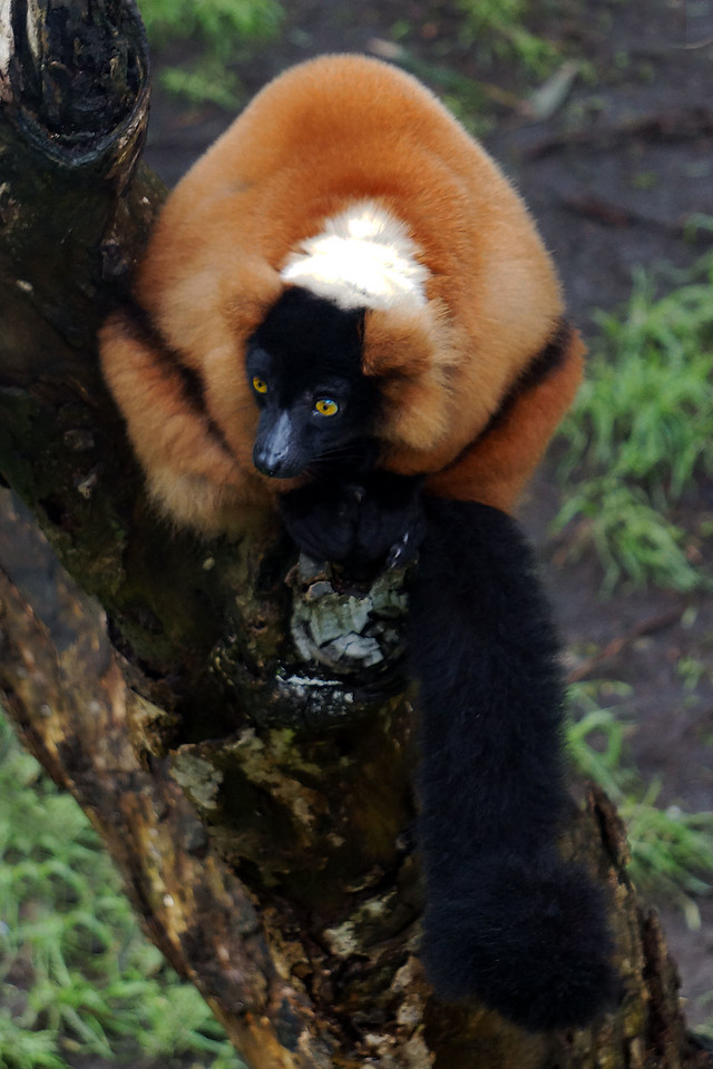 RED RUFFED LEMUR - MADAGASCAR