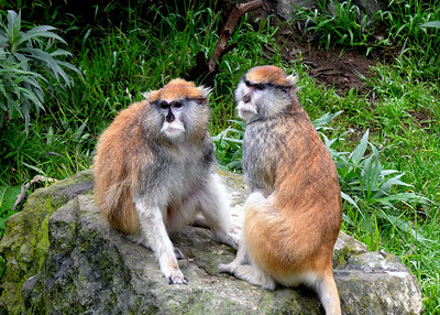 PATAS MONKEYS - KENYA