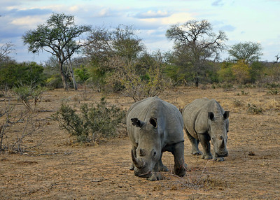 WHITE RHINOS - SOUTH AFRICA