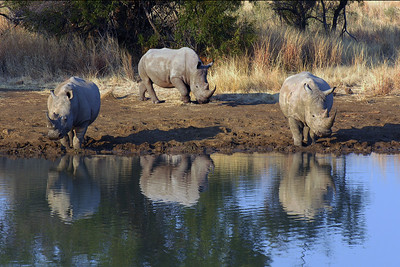 WHITE RHINOS - PILANESBURG, SOUTH AFRICA