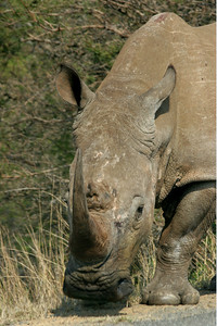 WHITE RHINO - ITHALA, SOUTH AFRICA