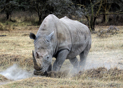 WHITE RHINO - LAKE NAKURU