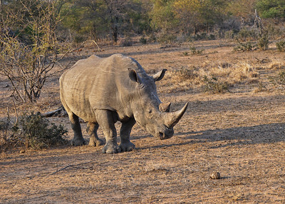 WHITE RHINO - SOUTH AFRICA