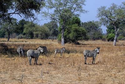 CRAWSHAY'S ZEBRA - SOUTH LUANGWA PARK, ZAMBIA