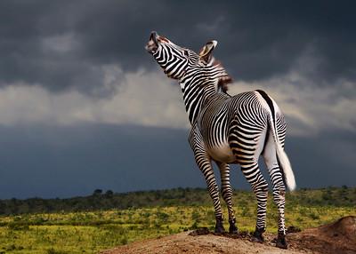 GREVY'S ZEBRA - KENYA