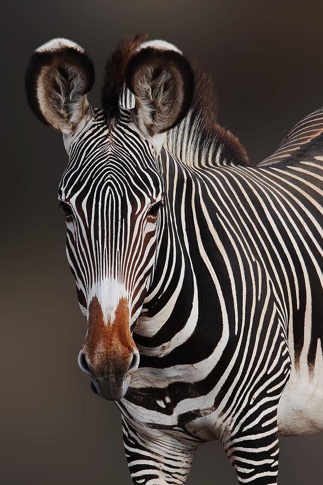 GREVY'S ZEBRA - SAMBURU, KENYA