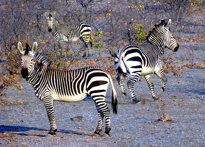 MOUNTAIN ZEBRAS - NAMIBIA