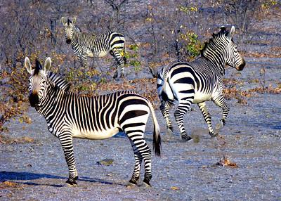 MOUNTAIN ZEBRAS - NAMIBIA
