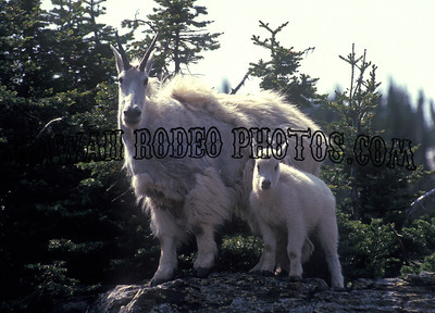 MOUNTAIN GOAT-105