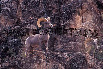 DESERT BIG HORN SHEEP-100