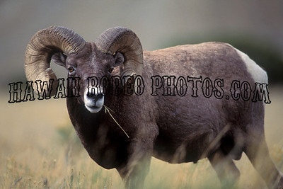 BIG HORN SHEEP-4