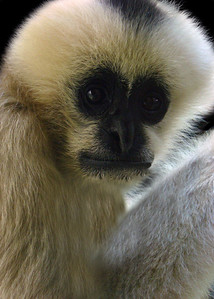 WHITE CHEEKED GIBBON - THAILAND