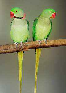 INDIAN RINGNECKED PARAKEET - INDIA