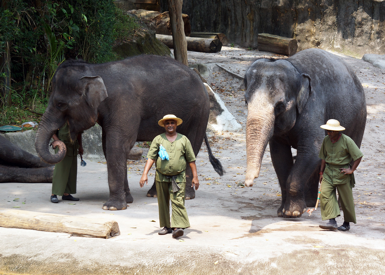 ASIAN ELEPHANTS - SINGAPORE