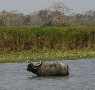 ASIATIC BUFFALO - KAZIRANGA NATIONAL PARK