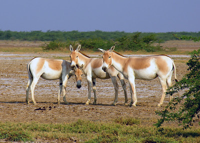 INDIAN WILD ASS - LITTLE RANN OF KUTCH