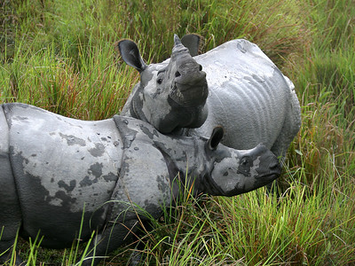 ONE HORNED RHINOCEROS - KAZIRANGA, INDIA