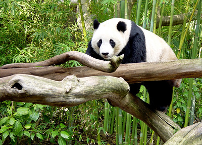 GIANT PANDA - SICHUAN PROVINCE, CHINA