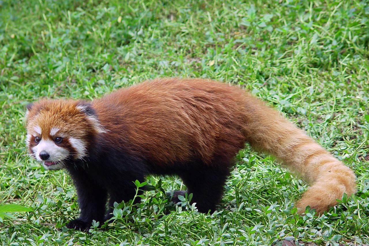 RED PANDA - SICHUAN PROVINCE, CHINA