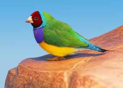 GOULDIAN FINCH - NORTHERN AUSTRALIA
