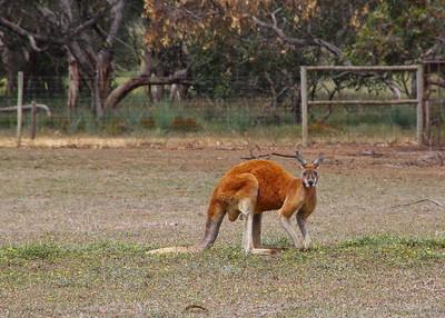 RED KANGAROO - SOUTH AUSTRALIA
