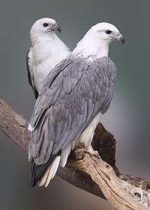 WHITE BELLIED SEA EAGLES