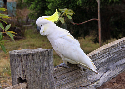SULFUR CRESTED COCKATOO - GREAT OCEAN ROAD