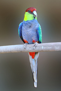 MULTICOLORED PARAKEET