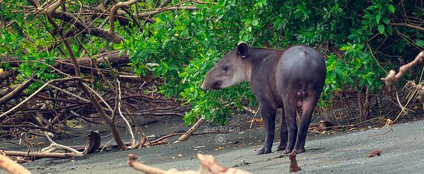 Baird's tapir | Tapirus bairdii