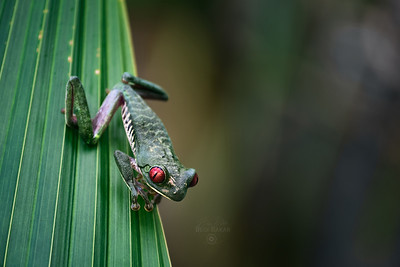 Red-Eyed Tree Frog  |  Agalychnis callidryas