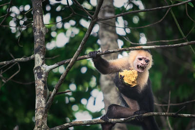 Colombian white-faced capuchin | Cebus capucinus