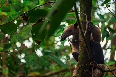Northern tamandua | Tamandua mexicana