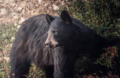 Black Bear | Ursus americanus