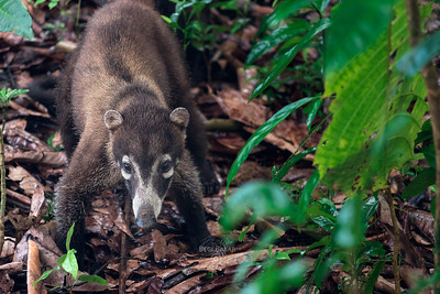 White-nosed coati | Nasua narica